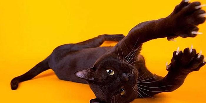 Бомбейские кошки не любят бывать на улице