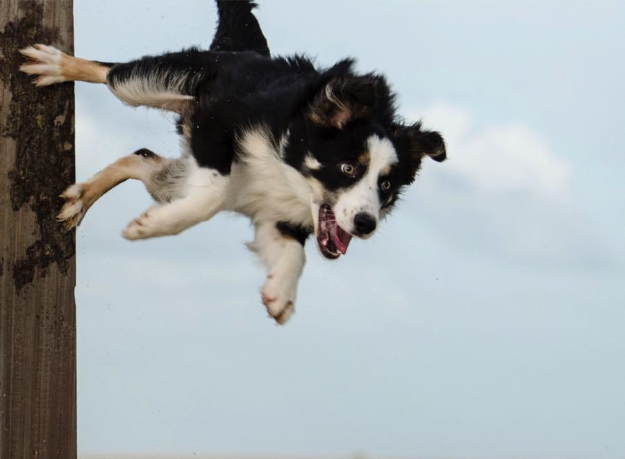 Бордер-колли ловкая, очень скоростная и маневренная собака