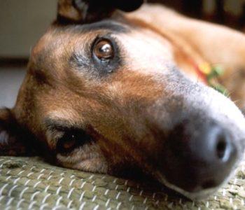 Бордетеллез собак