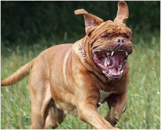 Бордоские доги использовались в собачьих боях