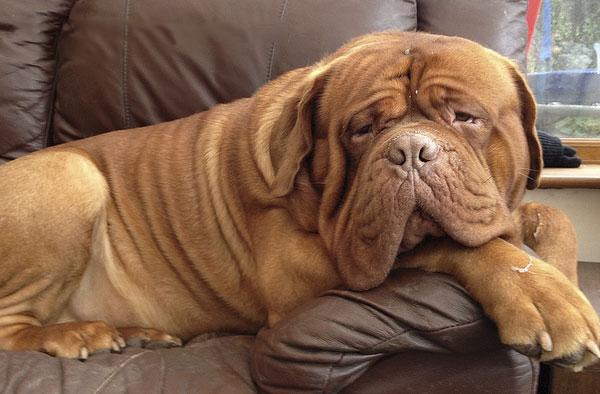 Бордоские доги любители поваляться на диване