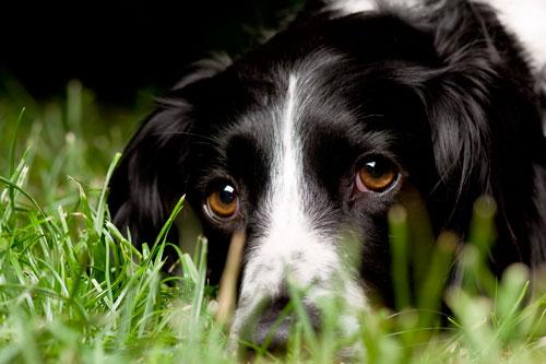 Боррелиоз у собак