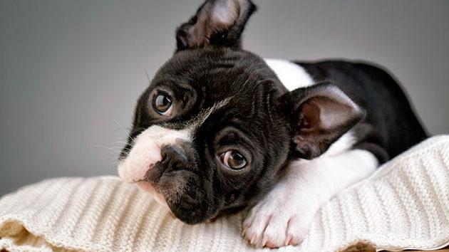 Бостон-терьер – строго комнатная собака