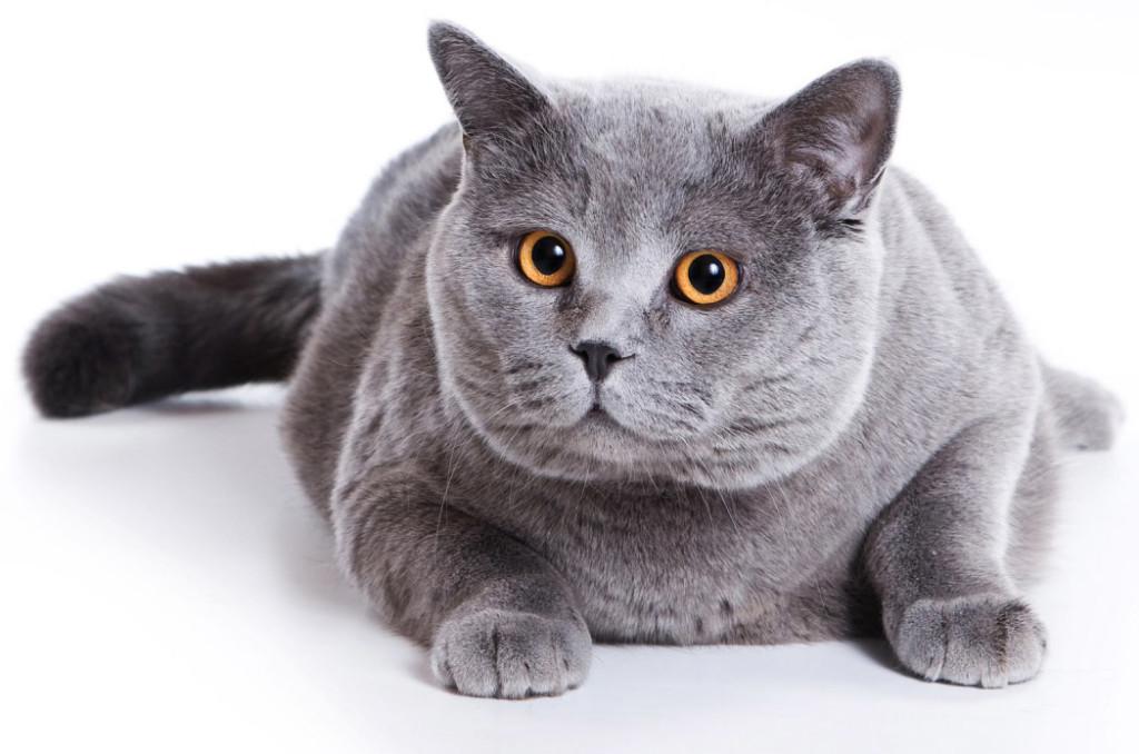 Как называется порода кошек большого размера thumbnail
