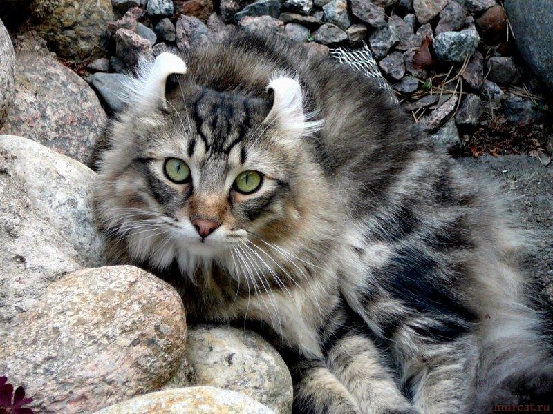 Будучи еще бездомным никому неизвестным котом, американский керл быстро привлек к себе внимание