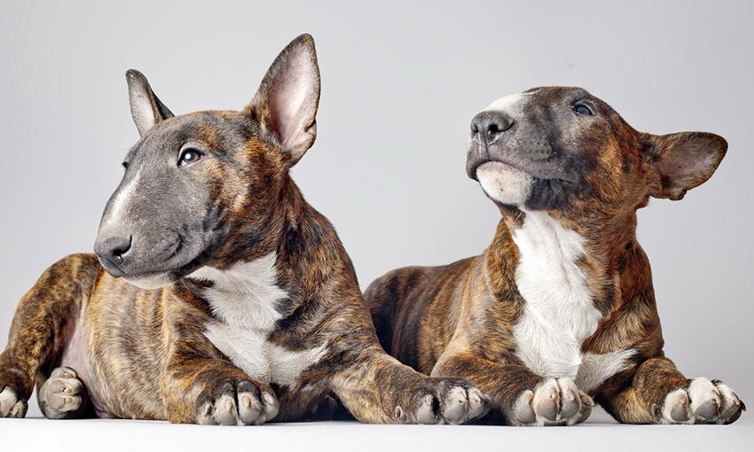 Бультерьеры очень преданные собаки