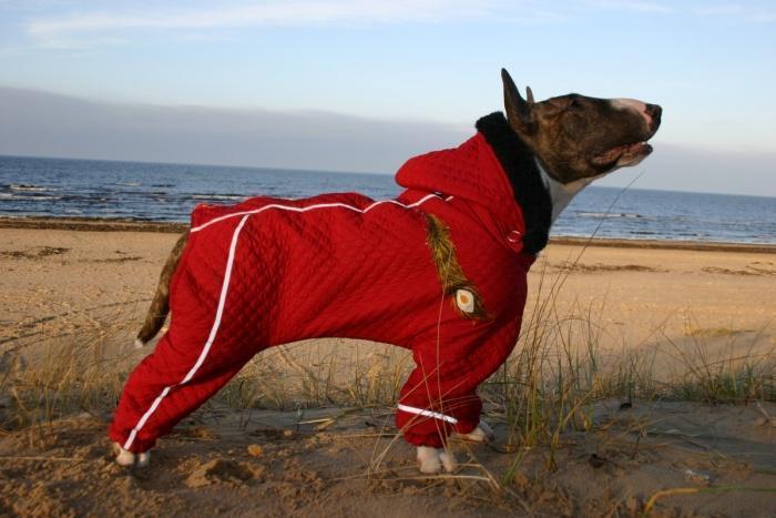 Бультерьер короткошерстная собака и в зимние периоды им нужна специальная одежда для защиты от холода