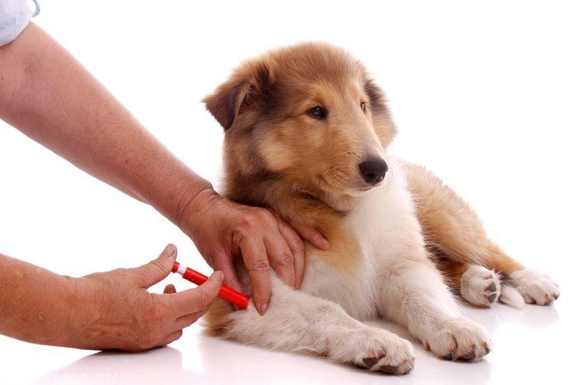 Введение иммунной сыворотки собаке