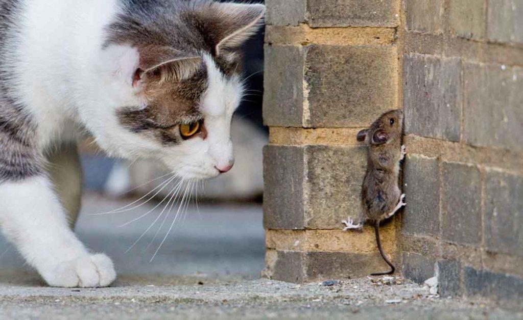 Вероятность заражения от пойманных уличных мышей и птиц очень велика