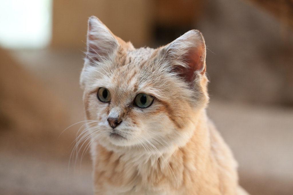 Весьма скромные размеры объясняются способностью помещаться в маленьких норах, которые кот легко вырывает сильными лапами