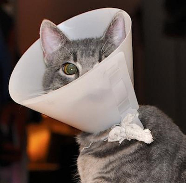 Ветеринарный воротник нужен для предупреждения разлизывания