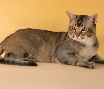 Взрослая азаитская табби имеет крепкий костяк и немалый вес
