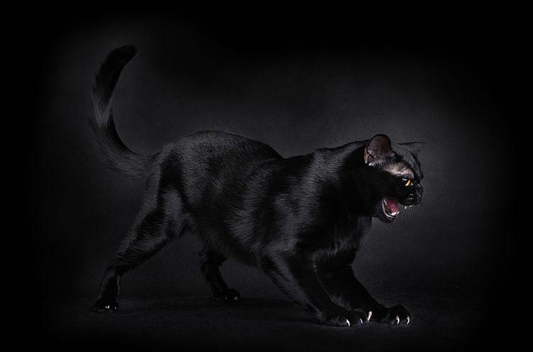 Взрослая бомбейская кошка