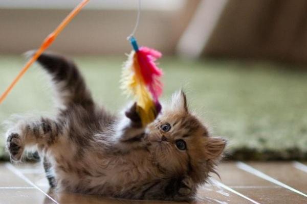 Не забывайте время от времени баловать любимца игрушками и своим вниманием