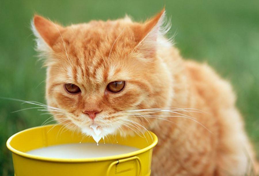 Хорошо знакомый всем миф о любви кота к молоку ошибочен - иногда организм животного не переносит лактозу