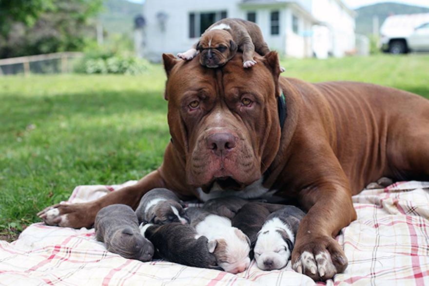 Восприимчивость щенков к Дронталу увеличивается, если препарат употребляла их мама