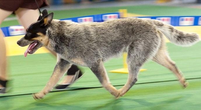 Восьмимесячного щенка порой не отличить от взрослой особи