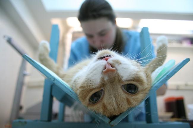 Во время наркоза коты часто высовывают язык что приводит к пересыханию ротовой полости