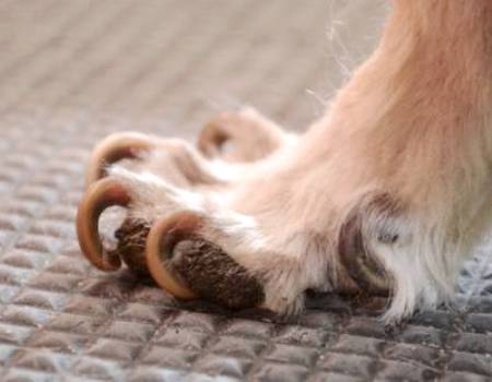 Врастание когтей у собаки