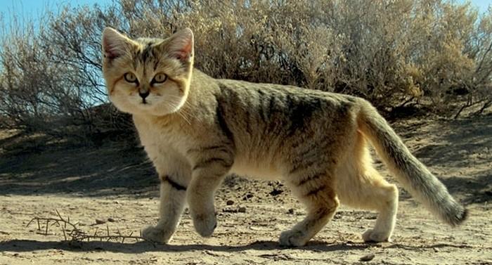 Встреча генерала и двух экзотических котов положила начало исследованию данного вида