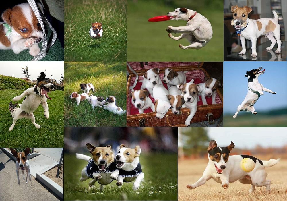 Эта порода собак выведена в Англии