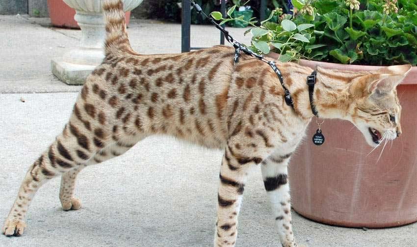 Выводить за пределы дома кошку рекомендуется на поводке