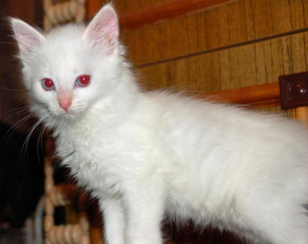 Выявить котенка-альбиноса достаточно легко - его глаза не будут иметь голубого оттенка