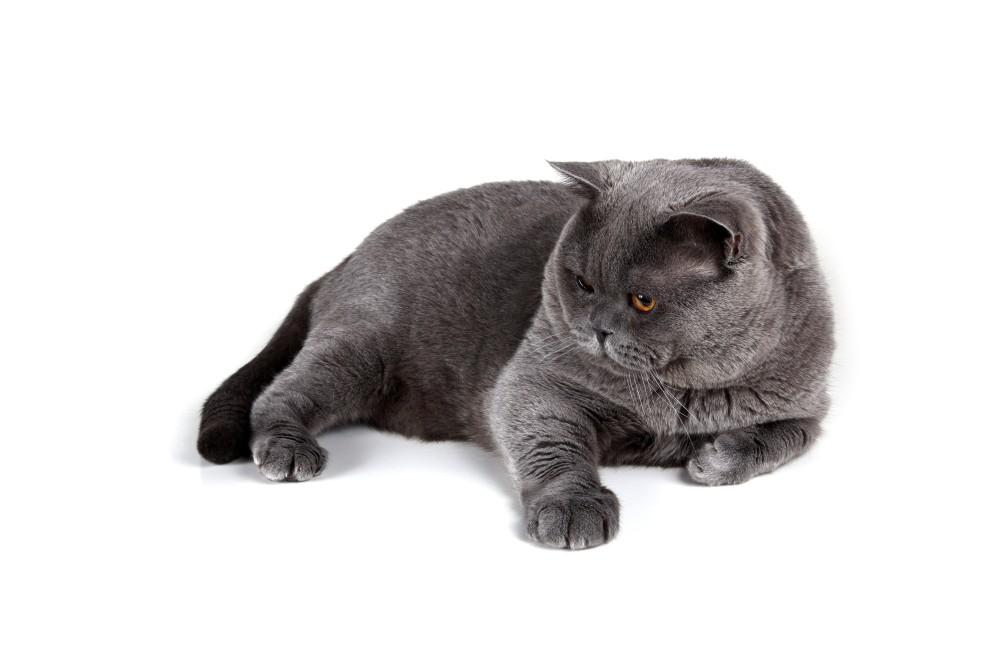 Вялость кошки может сигнализировать о наличии гельминтозов