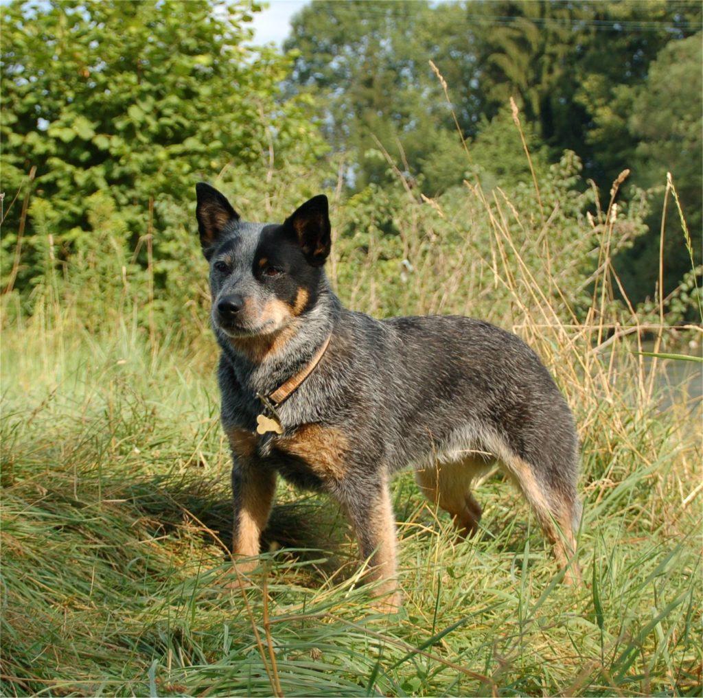 В зависимости от недостатков и преимуществ коротконогих и длинноногих хилеров, хозяин может подобрать идеального пса