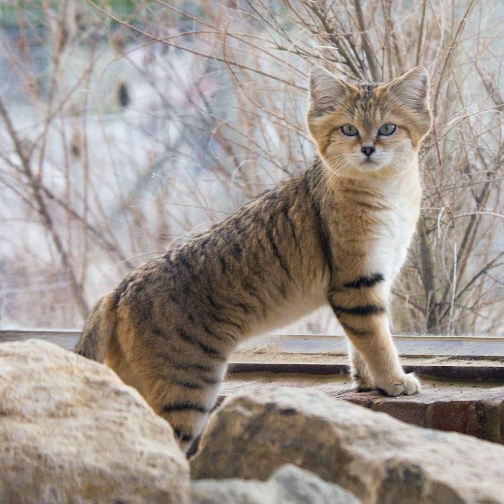 В мехе барханного кота не заинтересован ни один охотник, что позволяет лучше сохраниться виду