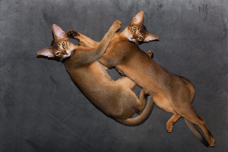 В наши дни до сих пор идет борьба за признание новых окрасов абиссинской кошки