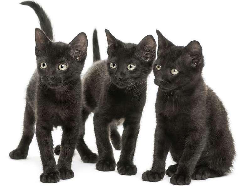 В одном помете редко бывает более четырех котят