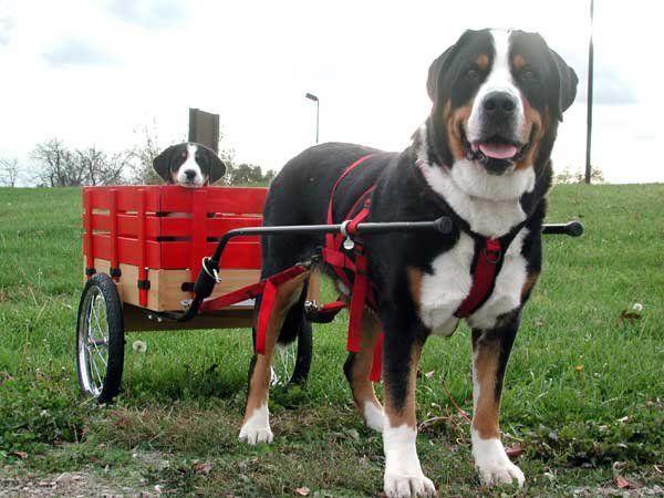 В переводе с баварского «зенненхунд» означает «пес с альпийских лугов»