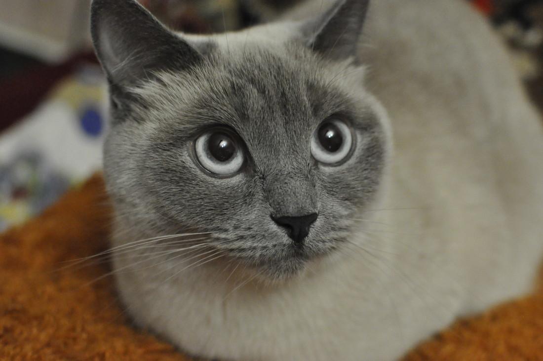 В среднем, липиды в урине встречаются у кошек чаще, чем у собак