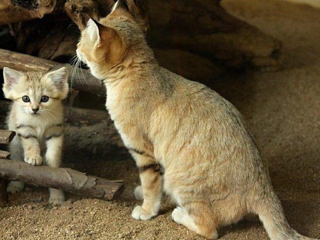 Главное в кормлении дикого кота - следить за достаточным количеством потребляемых витаминов