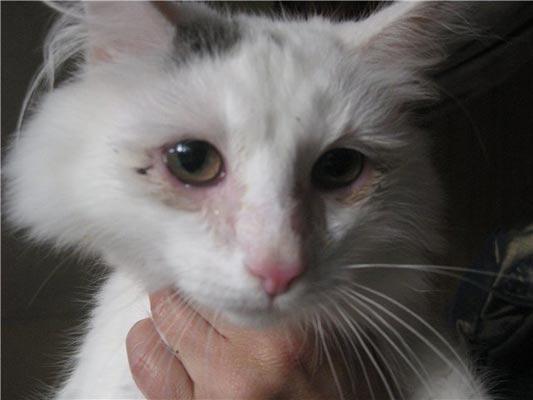 Глаза больной кошки