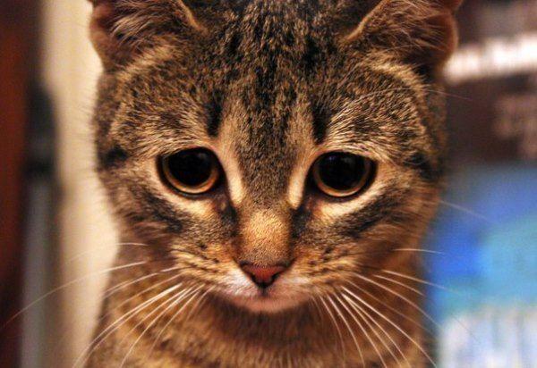 Глаза здорового котенка