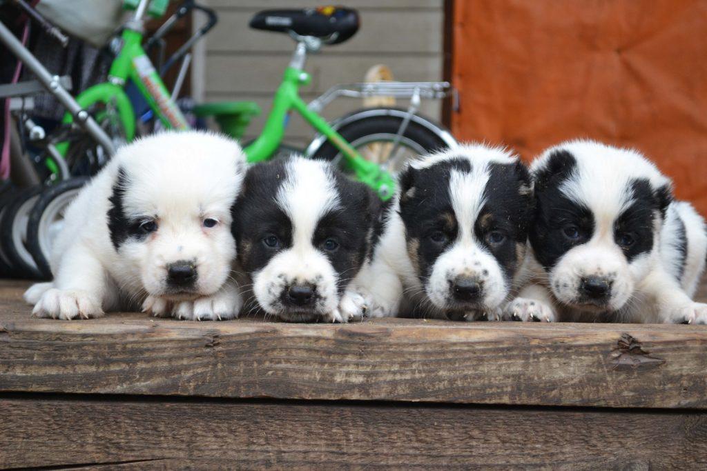Грамотное распределение дрессировочных часов позволит избежать переутомления щенка