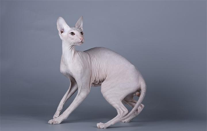 Сфинксы - живое доказательство того, что отсутствие шерсти не является гарантом отсутствия аллергии у хозяина