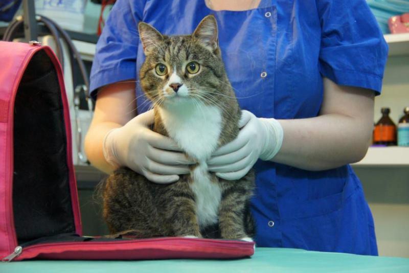 Далеко не все коты способны сохранять спокойствие по приезду к ветеринару