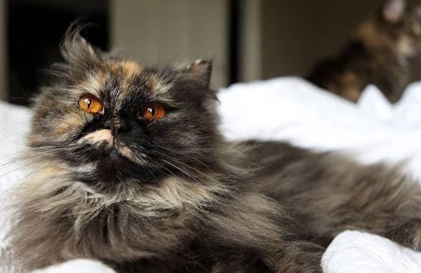 Длинношерстная персидская кошка-«торти»