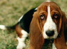 Длинные толстые висячие уши – визитная карточка бассетов