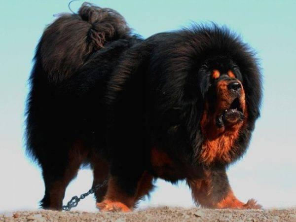Для обработки собак массой свыше 50 кг, требуется на каждые дополнительные 10 кг веса добавлять 1 мл лекарственного средства