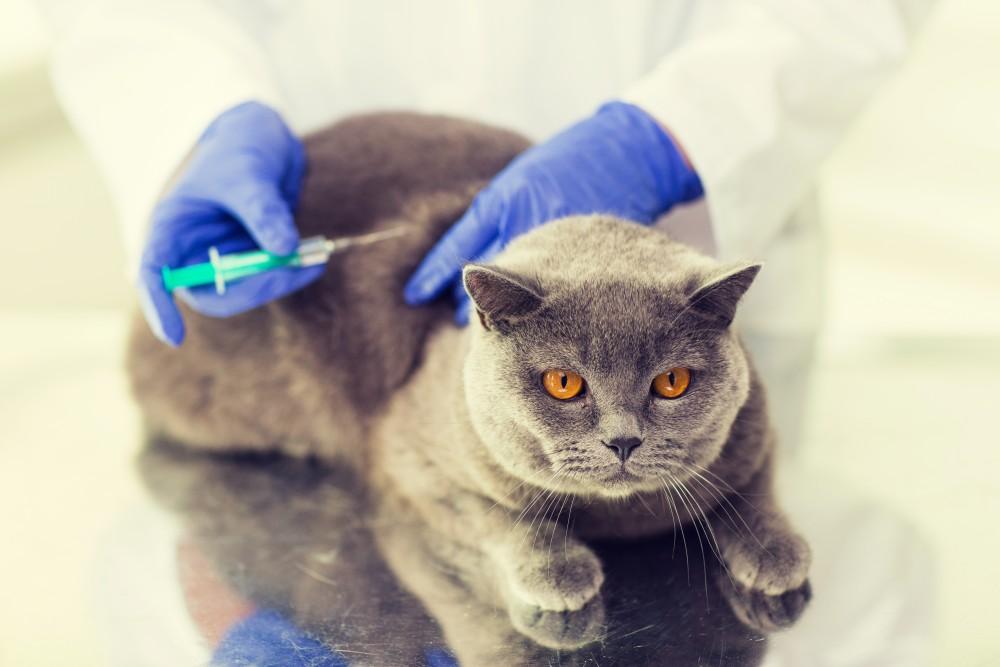 Возможные заболевания британской кошки