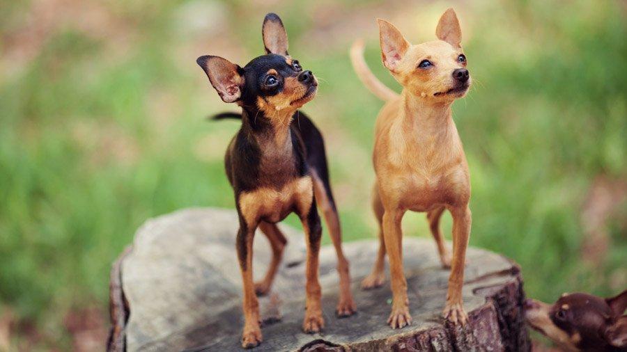 Для формирования породы выбирали самых маленьких собак