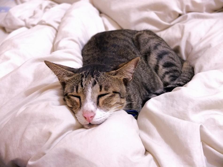 Долгое нахождения паразитов в организме кошки выводит из строя ее внутренние органы