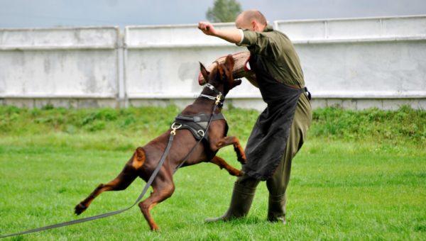 Цель дрессировки – приучить собаку реагировать на «чужих» только по команде хозяина