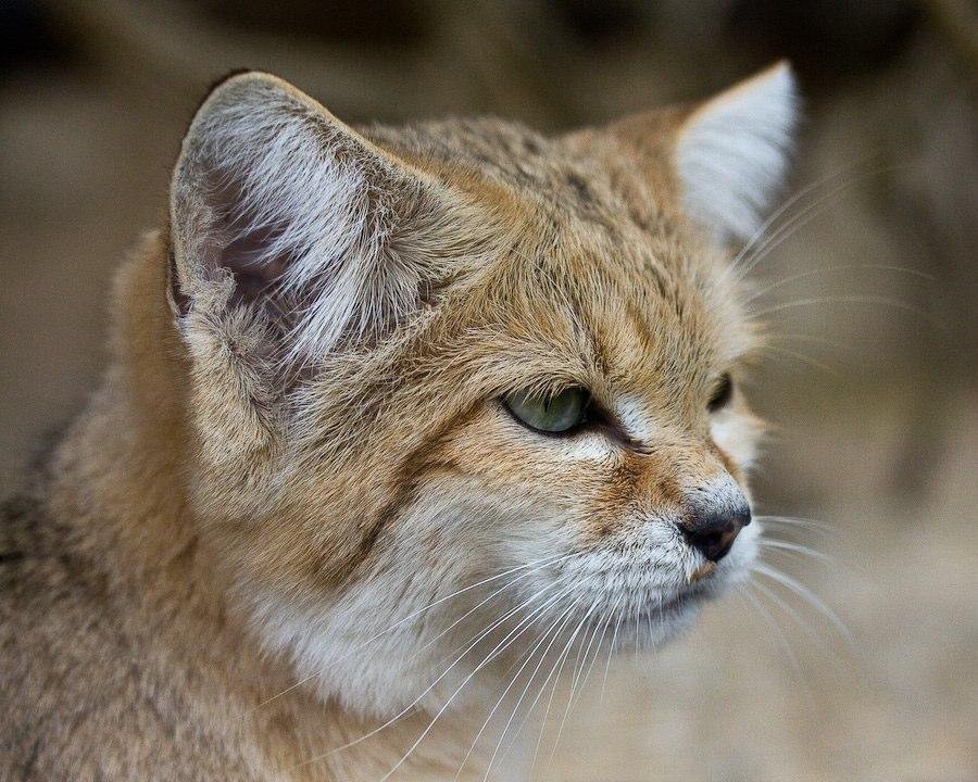 Еженощные пробежки на несколько километров - обыкновенное дело для арабского кота