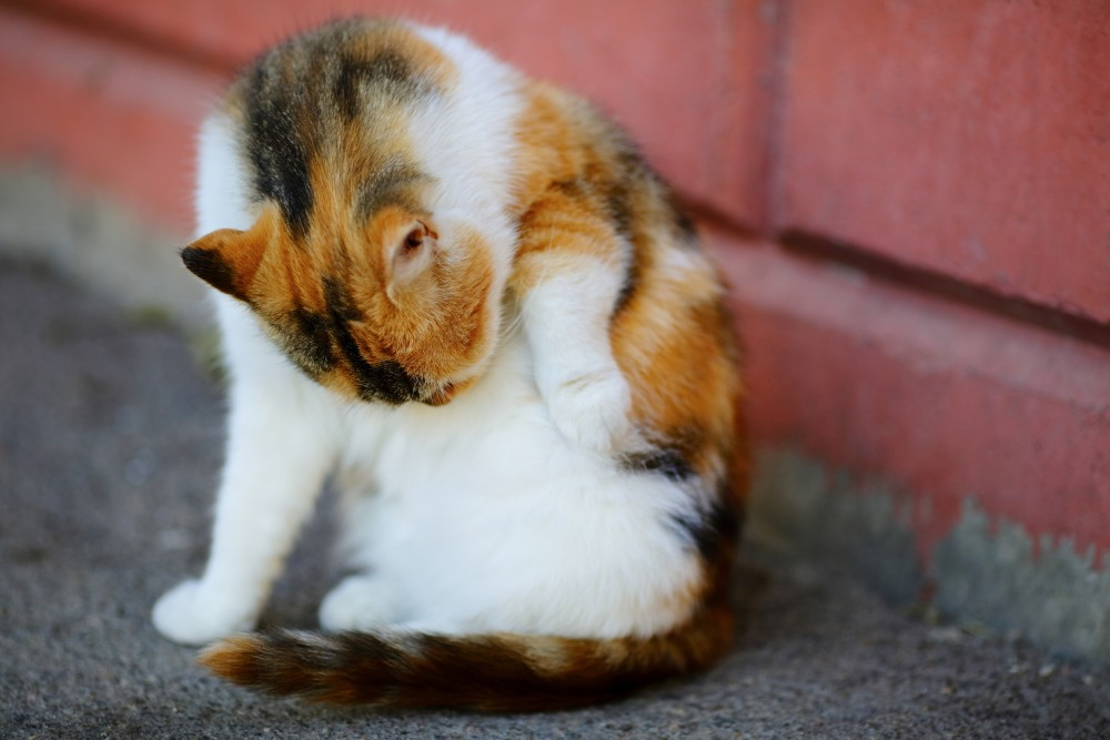 """Если кот будет упорно пытаться """"съесть"""" мазь, наденьте на него ограничитель"""