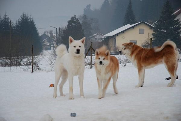 Если правильно ухаживать за шерстью акит, то эти собаки смогут жить на улице даже зимой